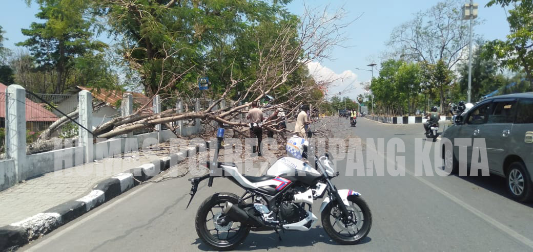 Sigap,Personil Sat Lantas Polres Kupang Kota Bersihkan Pohon Tumbang di Jalan.